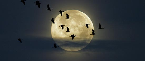 Full Moon with Cranes Flying